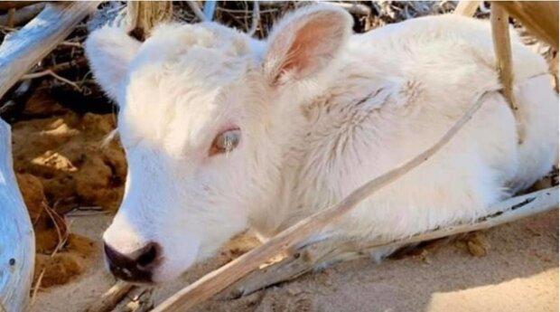 Krowa stała się prawdziwą bohaterką. Przypłynęła ponad 6 km i urodziła bardzo niezwykłego cielę. O co chodzi
