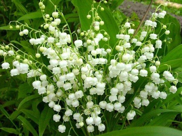 Jak dbać i sadzić konwalie? Te sposoby sprawią, że mieszkanie lub ogród wiosną będą wyglądać pięknie