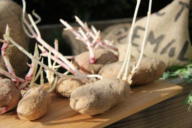 kiełki ziemniaka,screen YT