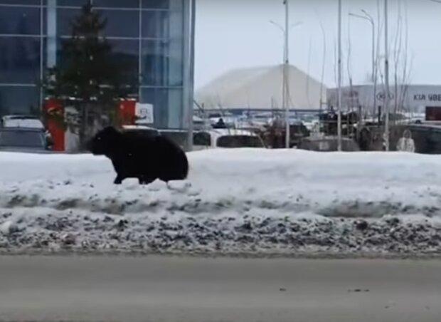 niedźwiedź na ulicy / YouTube: Storylines